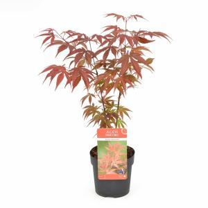 Japanse esdoorn (Acer Palmatum Atropurpureum) - 20-25 cm - 12 stuks