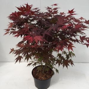 Japanse esdoorn (Acer Palmatum Atropurpureum) - 70-80 cm - 1 stuks