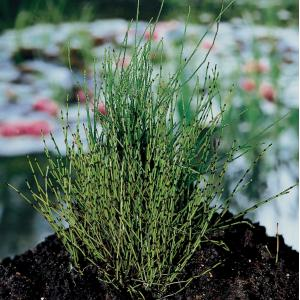 Dwergholpijp (Equisetum scirpoides) moerasplant - 6 stuks