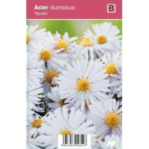Aster (aster dumosus Apollo) najaarsbloeier - 12 stuks