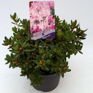 Dwerg rododendron (Rhododendron Ramapo) heester - 20-25 cm - 1 stuks