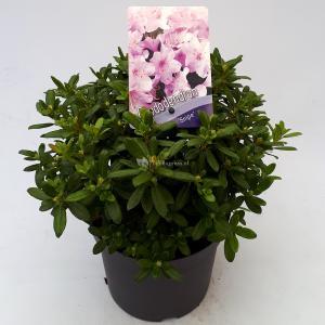 Dwerg rododendron (Rhododendron Snipe) heester - 20-25 cm - 1 stuks