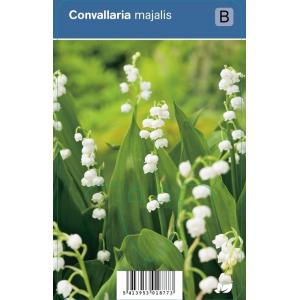 Lelietje-van-dalen (convallaria majalis) schaduwplant - 12 stuks