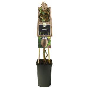 Kiwi (zelfbestuivend) (Actinidia deliciosa Jenny) klimplant