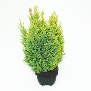 Schijncipres (Chamaecyparis lawsoniana Ellwoodii Empire) conifeer