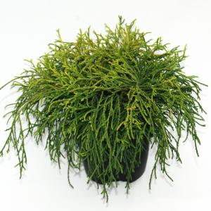 Schijncipres (Chamaecyparis pisifera Sungold) conifeer