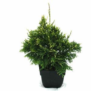 Reuzenlevensboom (Thuja plicata Can-Can) conifeer