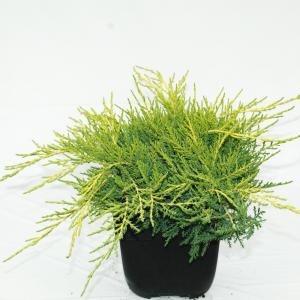 Jeneverbes (Juniperus media Old Gold) conifeer