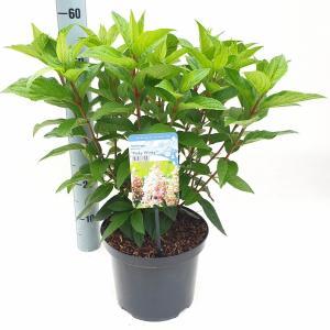 Hydrangea Paniculata Pinky Winky® pluimhortensia - 40-45 cm - 1 stuks