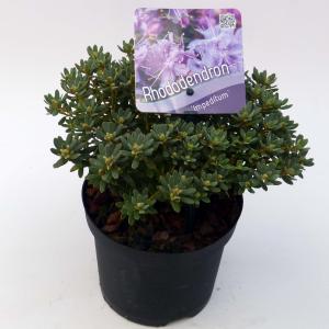 Dwerg rododendron (Rhododendron Impeditum) heester - 15-20 cm - 8 stuks