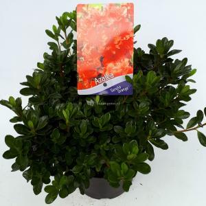 Rododendron (Rhododendron Japonica Geisha Orange) heester - 30-35 cm - 1 stuks