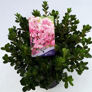 Rododendron (Rhododendron Japonica Kermesina Rose) heester - 30-35 cm - 1 stuks