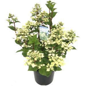Hydrangea Paniculata Wim's Red® pluimhortensia