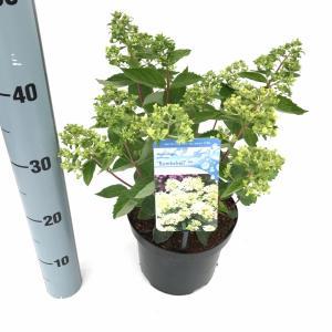 Hydrangea Paniculata Bombshell® pluimhortensia - 15-20 cm - 1 stuks