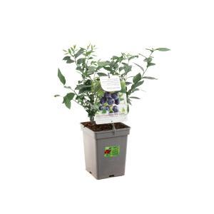 Bosbes (vaccinium corymbosum Goldtraube) fruitplanten - In 5 liter pot - 1 stuks
