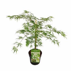 Japanse esdoorn (Acer palmatum Dissectum) heester - 40-50 cm - 1 stuks