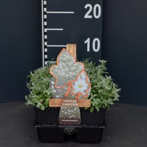 Hoornbloem (cerastium tomentosum) bodembedekker - 6-pack - 1 stuks