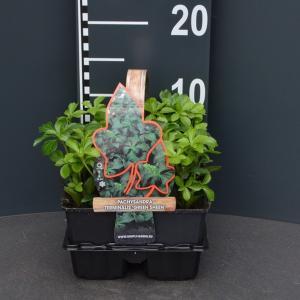Schaduwkruid (pachysandra terminalis Green Sheen) bodembedekker - 4-pack - 1 stuks