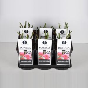 Trosroos (rosa Bonica®) - C3 - 1 stuks