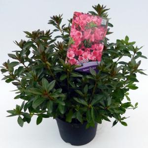 Rododendron (Rhododendron Japonica Madame van Hecke) heester