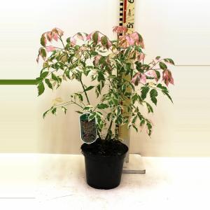 Vederesdoorn (Acer Negundo Flamingo) - 30-40 cm - 10 stuks