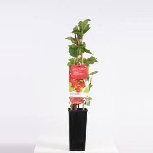 Rode bes (ribes rubrum Rovada) fruitplanten - In 2 liter pot - 1 stuks
