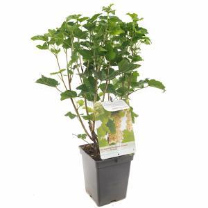 Witte bes (ribes rubrum Witte Parel) fruitplanten - In 5 liter pot - 1 stuks