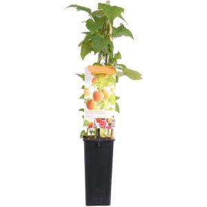 Herfstframboos (rubus idaeus Fallgold) fruitplanten