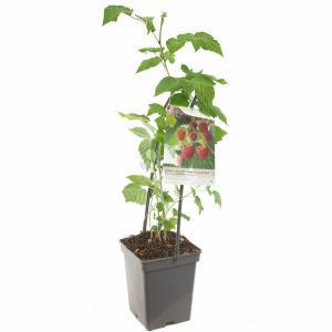Zomerframboos (rubus idaeus Malling Promise) fruitplanten - In 5 liter pot - 1 stuks
