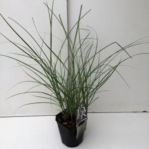 Prachtriet (Miscanthus sinensis Adagio) siergras