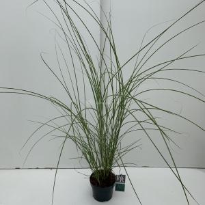 Prachtriet (Miscanthus sinensis Gracillimus) siergras - In 3 liter pot - 1 stuks