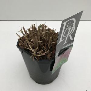 Prachtriet (Miscanthus sinensis Red Chief) siergras - In 2 liter pot - 1 stuks