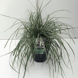 Zegge (Carex oshimensis Everest) siergras