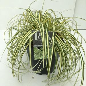 Zegge (Carex oshimensis Evergold) siergras