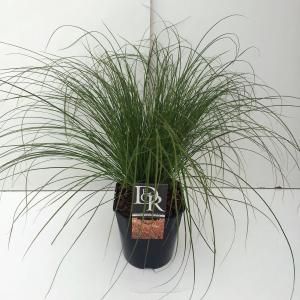 Zegge (Carex testacea Prairie Fire) siergras