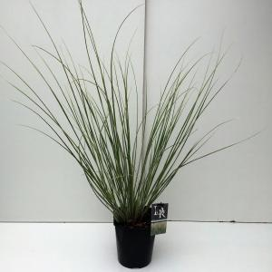 Dwergpampasgras (Cortaderia selloana Mini Silverpampas) siergras