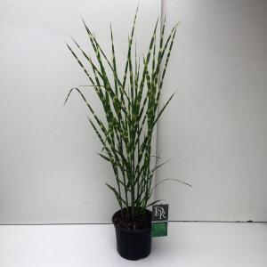 Prachtriet (Miscanthus sinensis Strictus) siergras