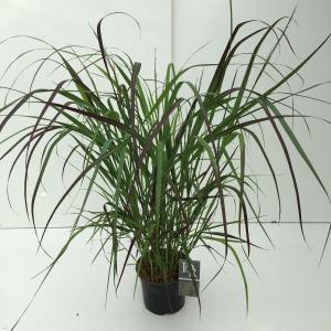 Vingergras (Panicum virgatum Squaw) siergras