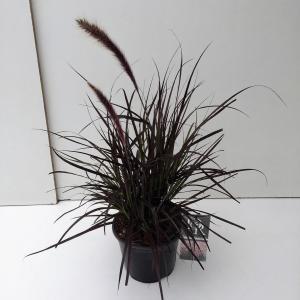 Lampenpoetsersgras (Pennisetum setaceum Rubrum) siergras