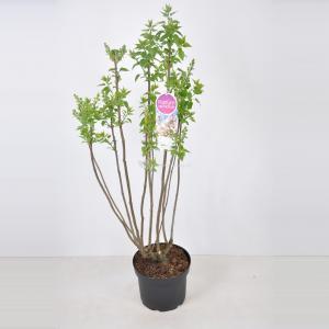 Sering (syringa vulgaris Beauty of Moscow) - 70-90 cm - 1 stuks