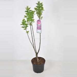 Sering (syringa vulgaris Charles Joly) - 70-90 cm - 1 stuks