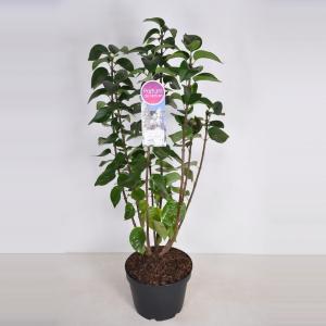 Sering (syringa vulgaris Mme Lemoine) - 70-90 cm - 1 stuks