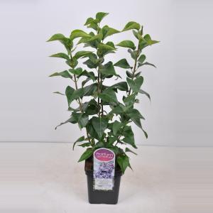 Sering (syringa vulgaris Nadezhda) - 50-70 cm - 1 stuks