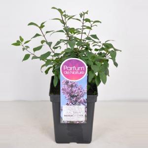 Sering (syringa chinensis Lilac Sunday) - 40-60 cm - 1 stuks