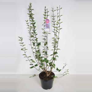 Sering (syringa chinensis Lilac Sunday) - 90-120 cm - 1 stuks