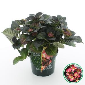 Hydrangea Macrophylla Black Diamond® Dark Angel® schermhortensia - 40-50 cm - 1 stuks