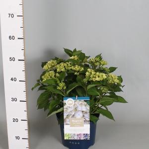 Hydrangea Macrophylla Magical Harmony Blauw® boerenhortensia - 30-40 cm - 1 stuks