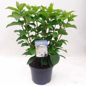 Hydrangea Paniculata Silver Dollar pluimhortensia - 80-90 cm - 1 stuks