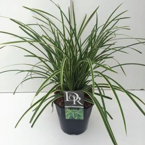 Zegge (Carex morrowii Ice Dance) siergras
