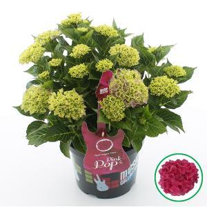 Hydrangea Macrophylla Music Collection Pink Pop® boerenhortensia - 30-40 cm - 1 stuks